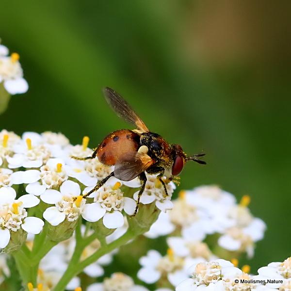 Tachinid fly sp. Gymnosoma rotundatum
