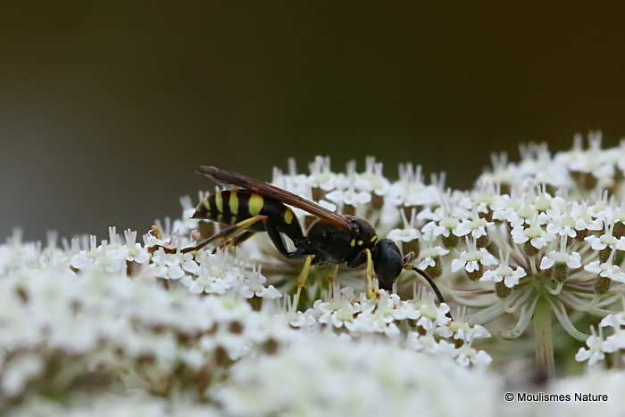 Early Mason Wasp (Ancistrocerus nigricornis)