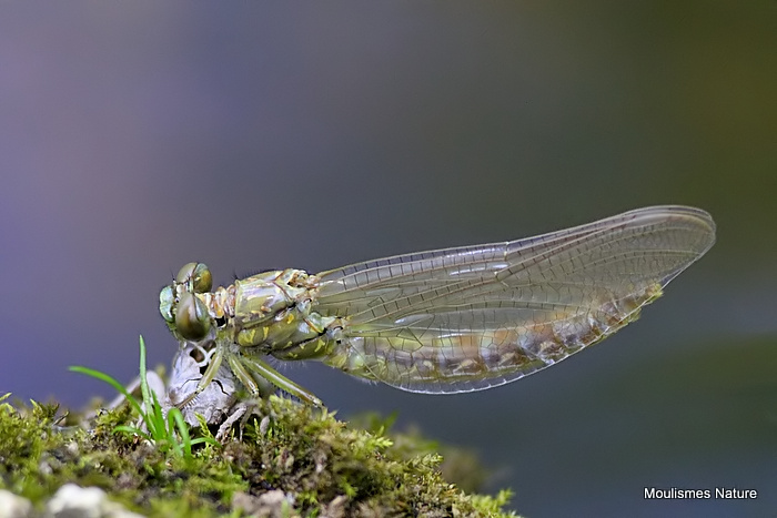Green-eyed Hooktail (Onychogomphus forcipatus)