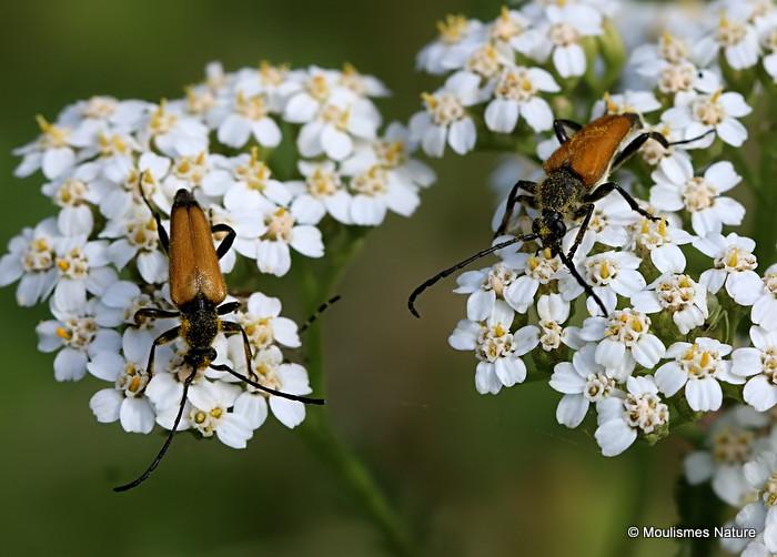 Longhorn Beetle sp. Brachyleptura fulva