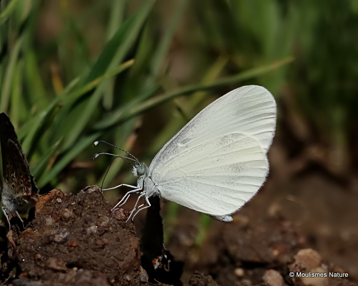 Wood White (Leptidea sinapis), La Pieridede la moutarde