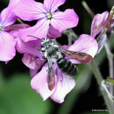 Violet-winged Mining-bee (Andrena agilissima) M
