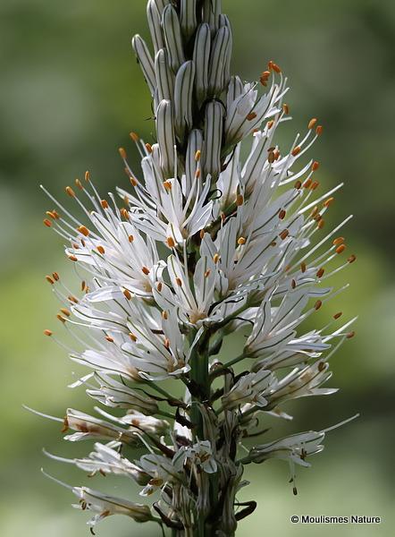 Asphodelus albus, White asphodel
