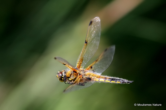 Four-spotted Chaser (Libellula quadrimaculata) M