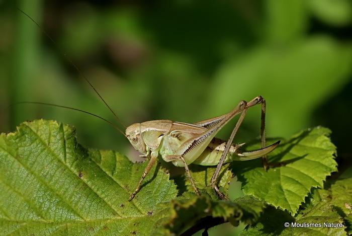 Grey Bush-cricket (Platycleis albopunctata albopunctata) F nymph