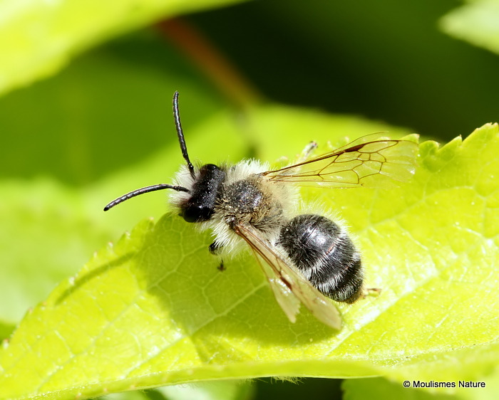 Unidentified bee sp.