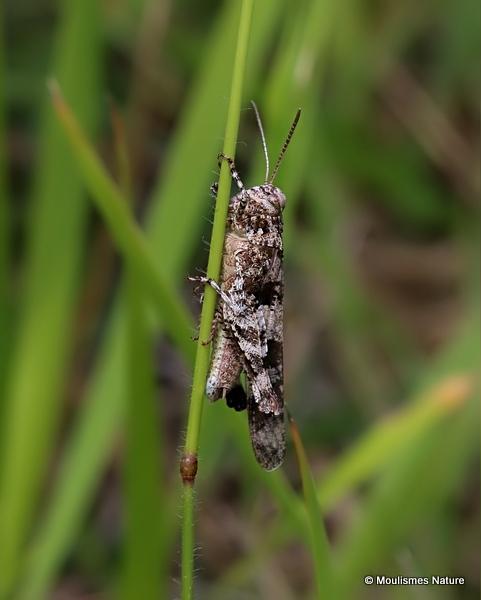 Unidentified Oedipoda sp.