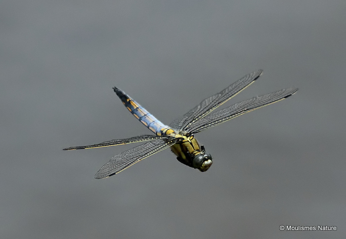 Black-tailed Skimmer (Orthetrum cancellatum) M