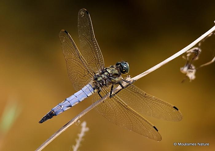 Black-tailed Skimmer (Orthetrum cancellatum) M, Orthetrum reticule