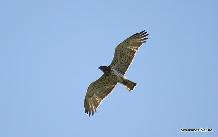 Short-toed Eagle (Circaetus gallicus) Ad