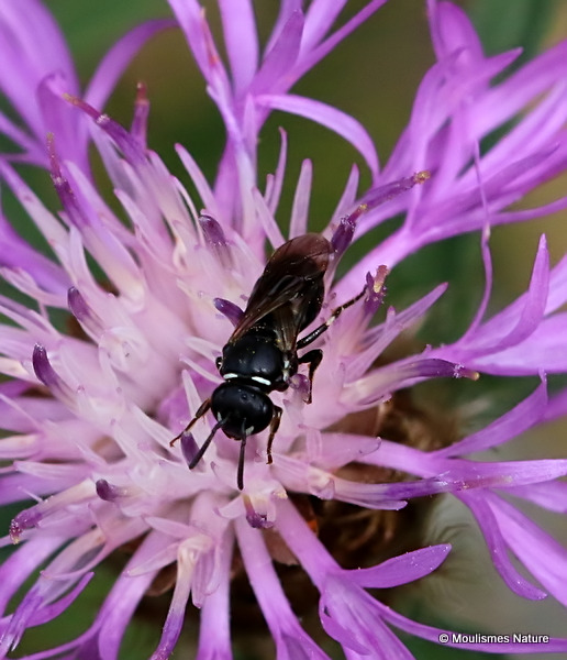 Yellow-face Bee (Hylaeus) sp. F