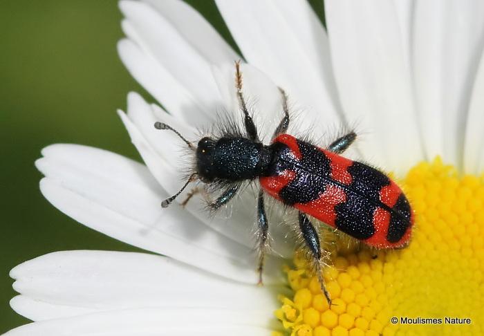 Soldier Beetle sp. Trichodes apiarius