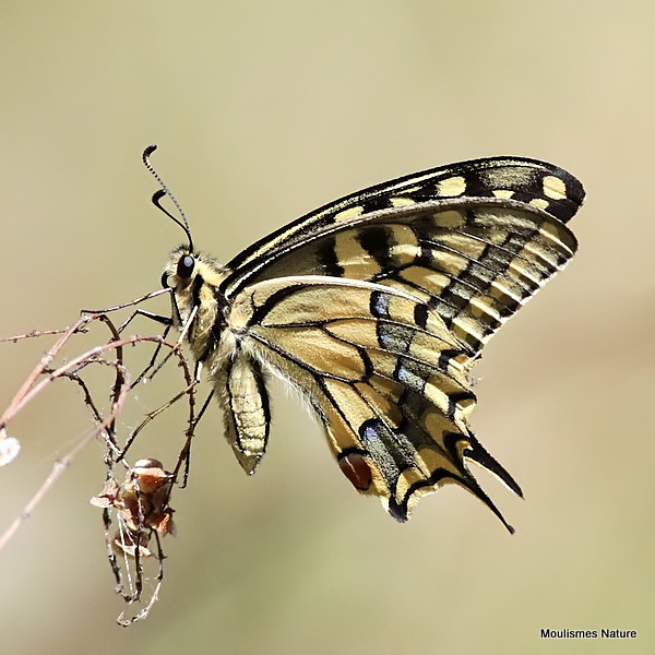 Swallowtail (Papilio machaon)