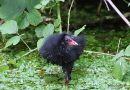 Common Moorhen (Gallinula chloropus) young