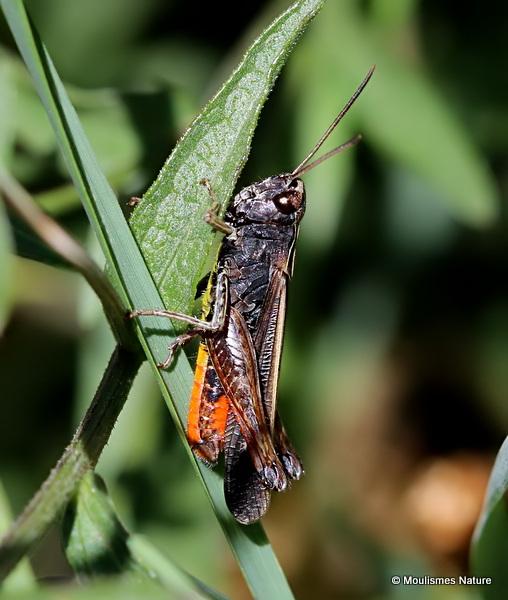 Woodland Grasshopper (Omocestus rufipes) M