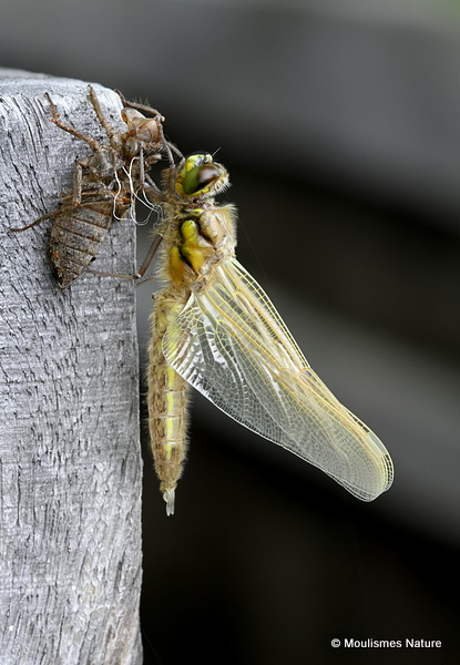 Four-spotted Chaser (Libellula quadrimaculata) ten