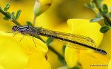 Azure Damselfly (Coenagrion puella) F-ten