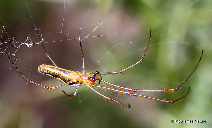 Striped Stretch Spider (Tetragnatha striata)