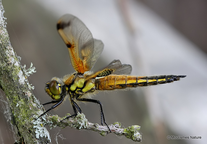 Four-spotted Chaser (Libellula quadrimaculata) M-ten