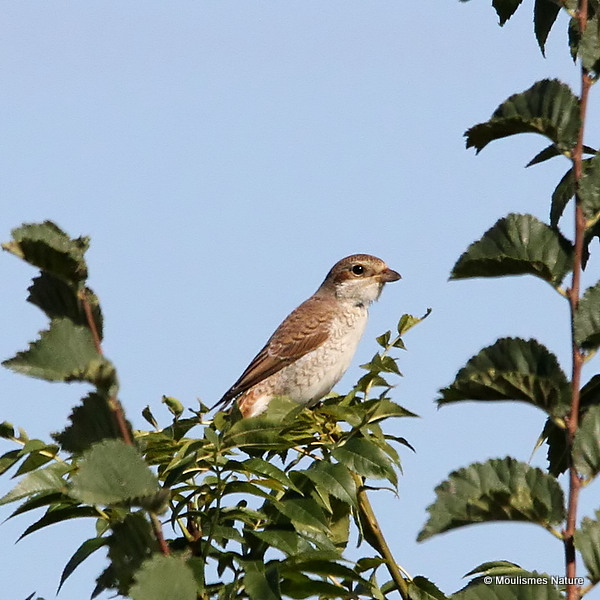 Red-backed Shrike (Lanius collurio) Juv