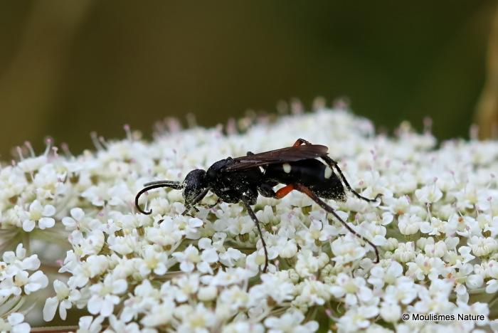 Parasitic wasp sp.