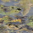 White-tailed Skimmers (Orthetrum albistylum)