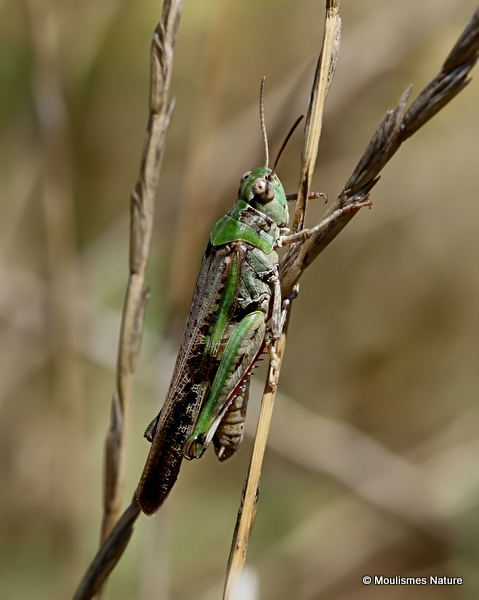 Long-winged Grasshopper (Aiolopus thalassinus thalassinus) M