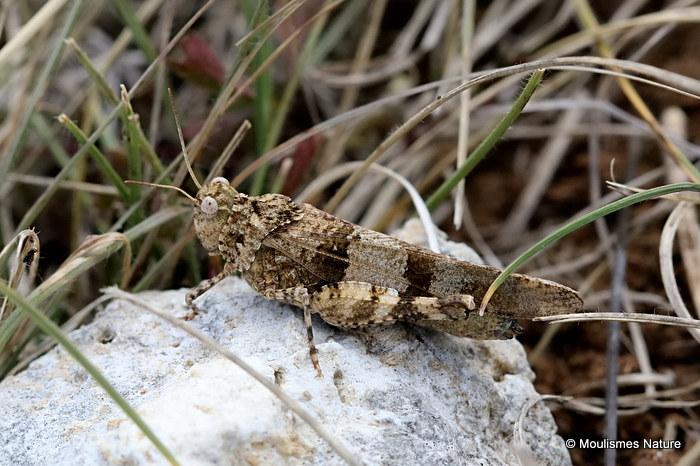 Blue-winged Grasshopper (Oedipoda Caerulescens caerulescens) F