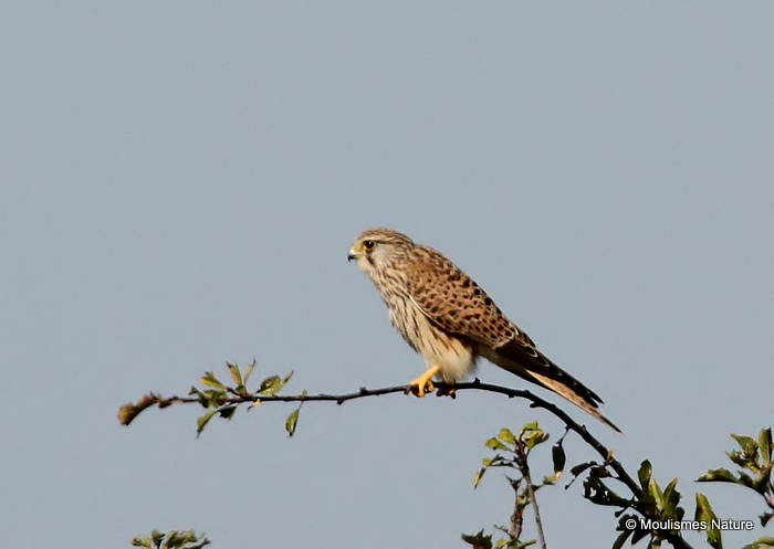 Common Kestrel (Falco tinnunculus) M-Juv