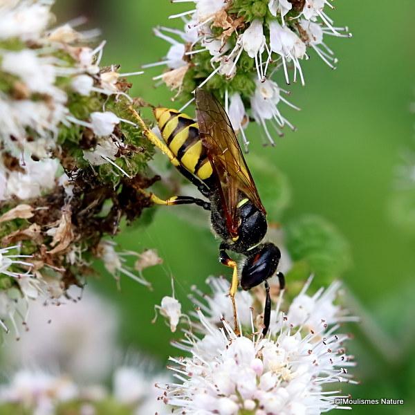 European Bee Wolf (Philanthus triangulum)