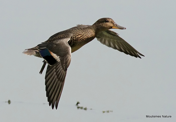 Common Teal (Anas crecca), Sarcelle d'hiver