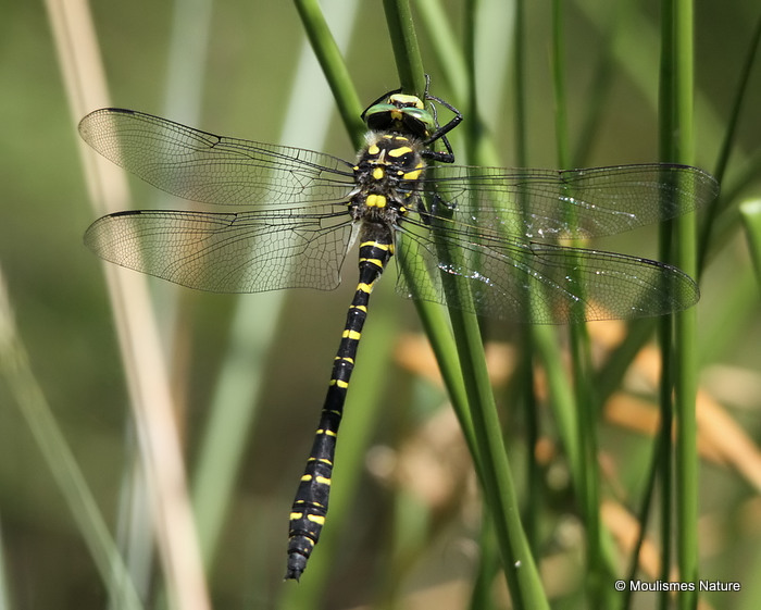 Golden-ringed Dragonfly (Cordulegaster boltonii) M
