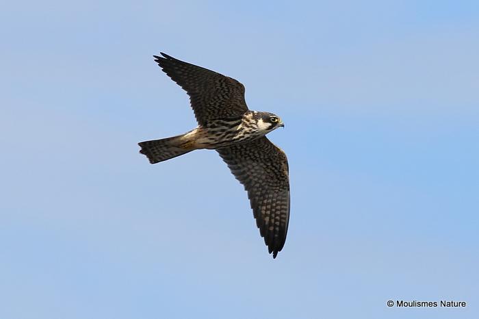 Falco subbuteo juv