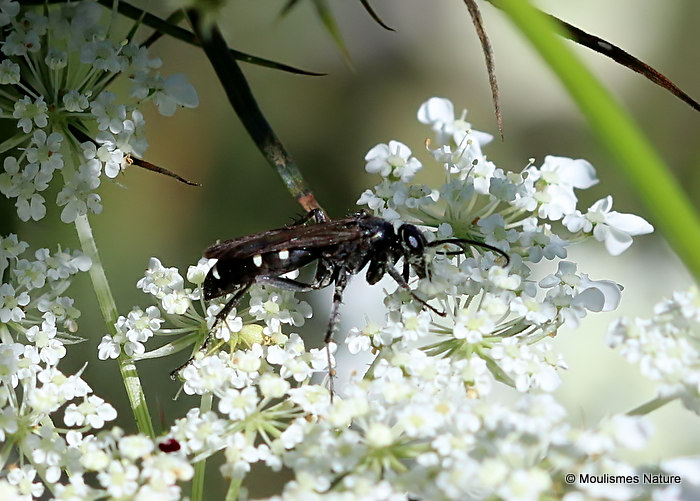 Spider-hunting wasp sp. (Episyron sp.)