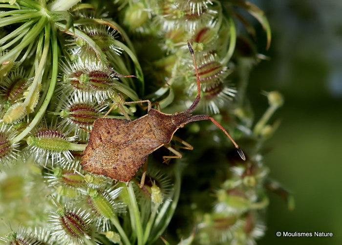 Squash Bug sp. Verlusea rhombea