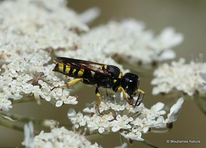 Digger wasp sp. Lestica clypeata F