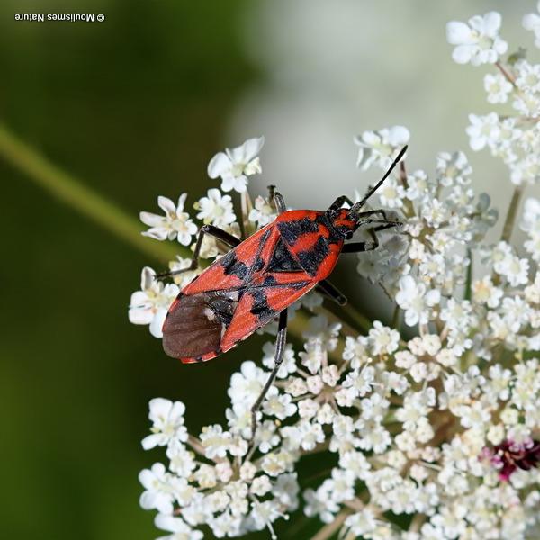Ground bug sp. Spilostethus pandurus