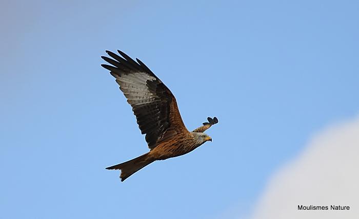 Red Kite (Milvus milvus) Ad, Milan Royal