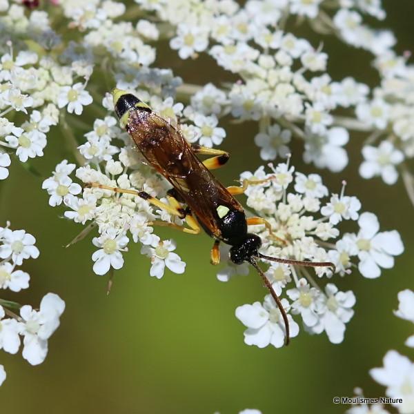 Parasitic wasp sp. Ichneumon sarcitorius M