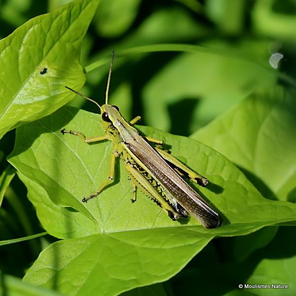 Large Marsh Grasshopper (Stethophyma grossum) M