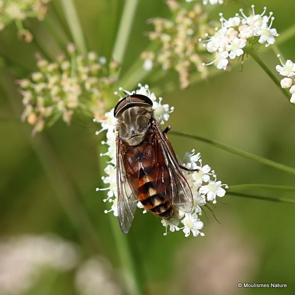 Horsefly (Tabanidae) sp.
