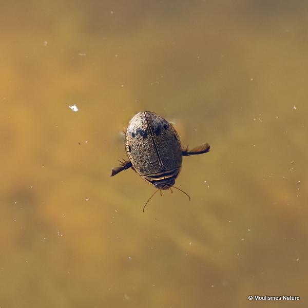 Lesser Diving Beetle (Acilius sulcatus) M