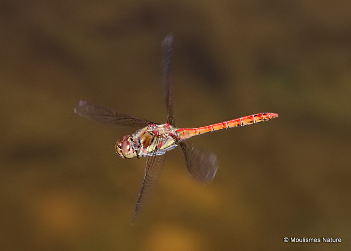 Common Darter (Sympetrum striolatum) M