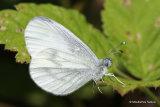 Wood White (Leptidea sinapis) M
