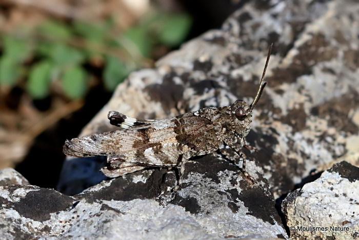Blue-winged Grasshopper (Oedipoda Caerulescens caerulescens) M
