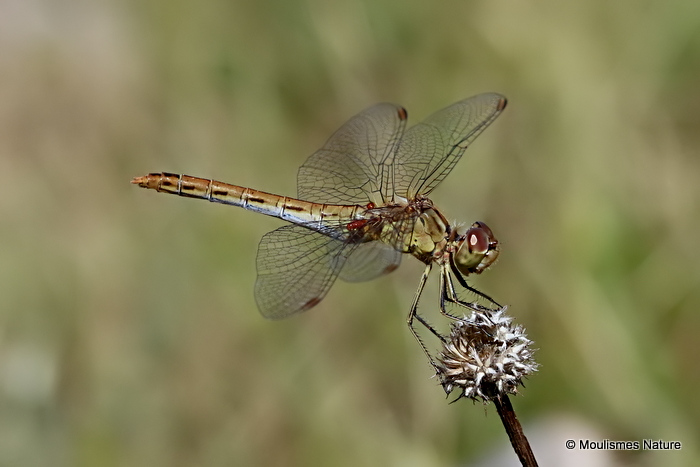 Southern Darter (Sympetrum meridionale) female