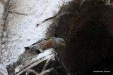 Alpine Accentor (Prunella collaris) Ad