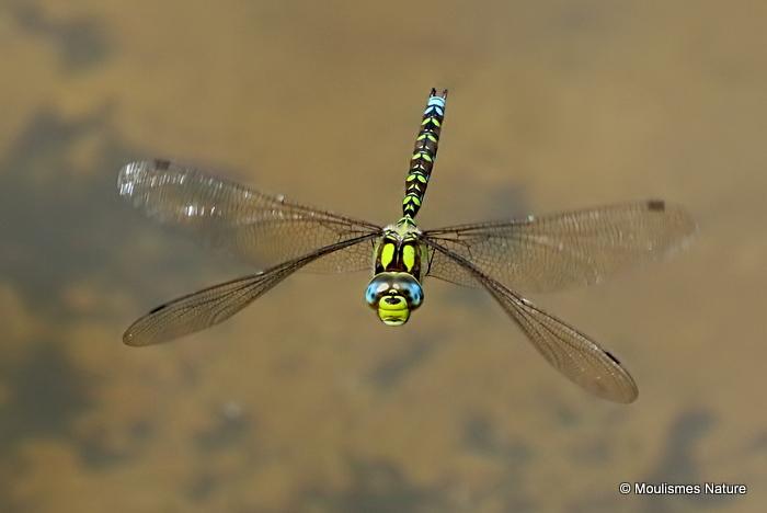 Southern Hawker (Aeshna cyanea) M