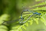 Azure Damselflies (Coenagrion puella)