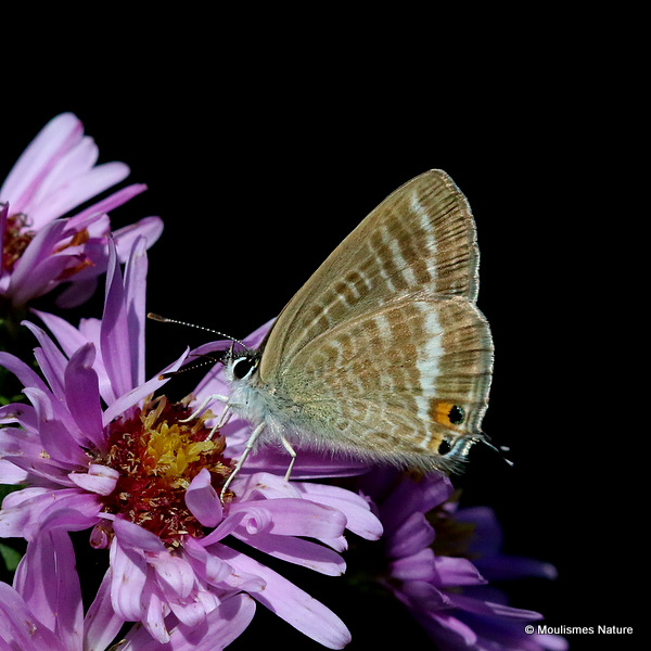 Long-tailed Blue (Lampides boeticus) F
